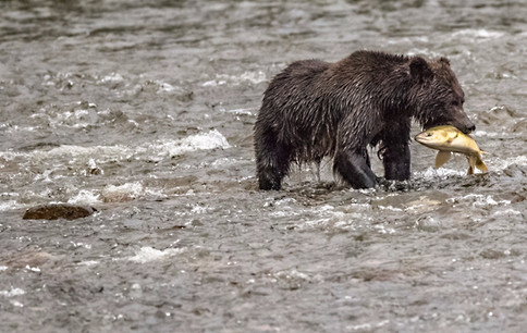 Grizzly Bear Eating Salmon British Columbia