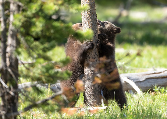 Grizzly Cubs Fighting Grand Teton National Park