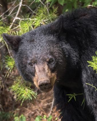 Black Bear Smoky Mountain National Park