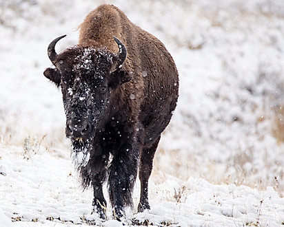 Bison Winter Yellowstone National Park