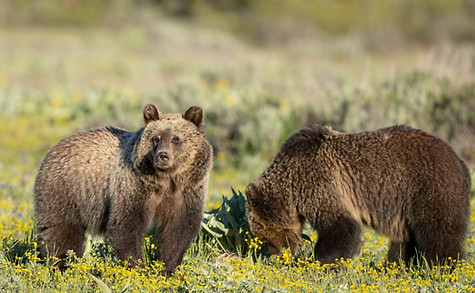 Grizzly Bears Grand Tetons Photography Workshop