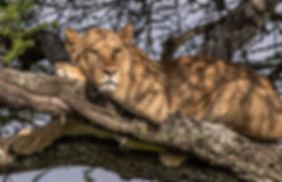 tanzania wildlife photography safari lion