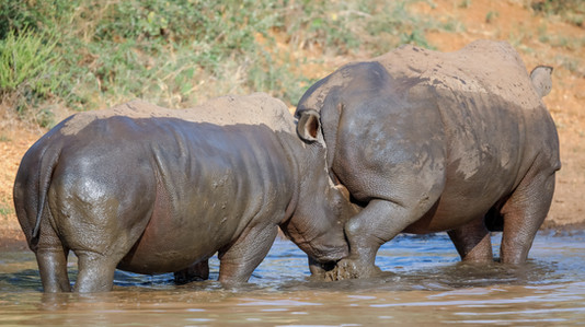 Rhino  South Africa Safari