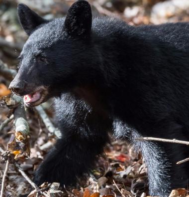 Black Bear Cub Smoky Mountains Fall