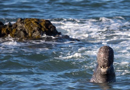 Large Elephant Seal Male in ocean