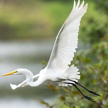 Egret in flight Savannah GA