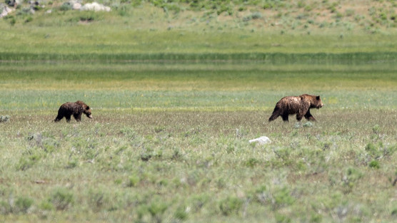 Grizzly Bear and Cub Yellowstone National Park