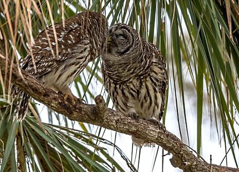Barred Owls Kissing Florida