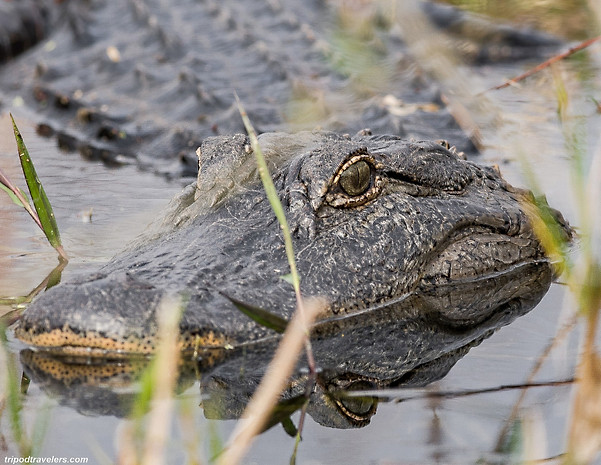 Alligator up close Florida Workshop