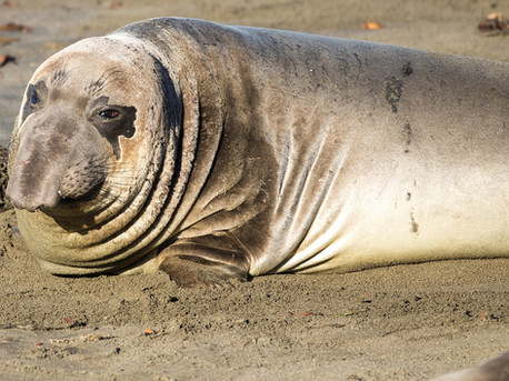 Elephant seal laying on Beach California