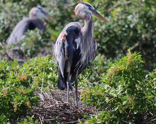 Great Blue Heron Nesting Venice Florida