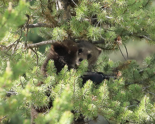 Grizzly in Tree Grand Teton National Park