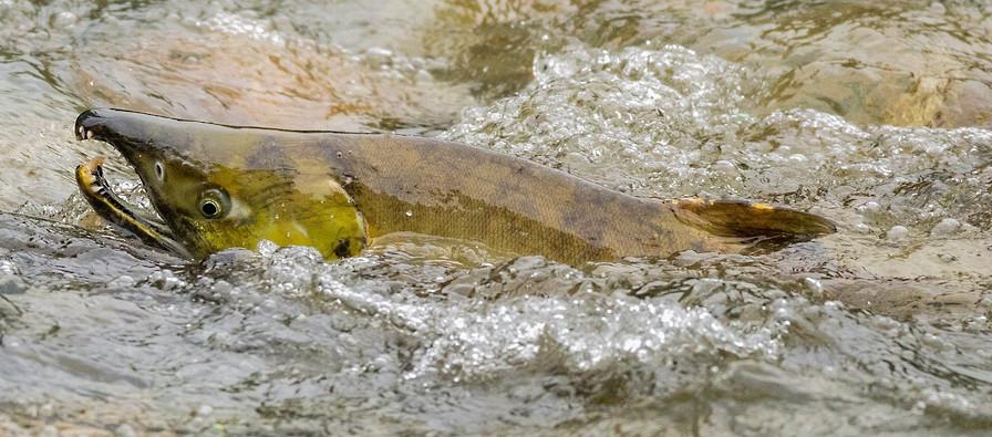 Salmon British Columbia