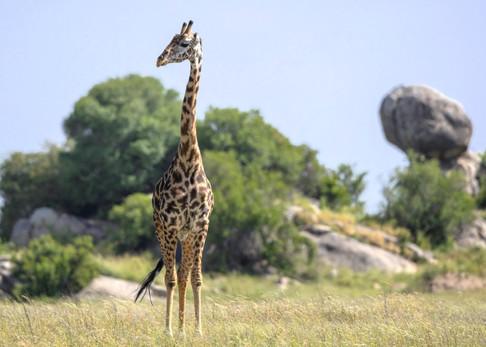 Giraffe Tanzania Photography Safari
