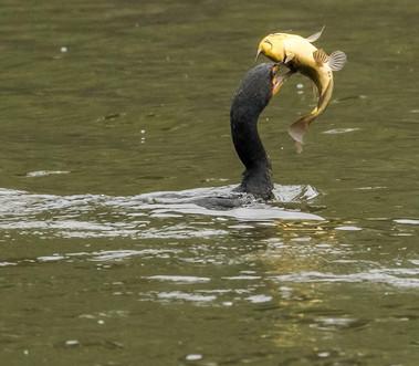 Anhinga wildlife photography workshop Savannah GA