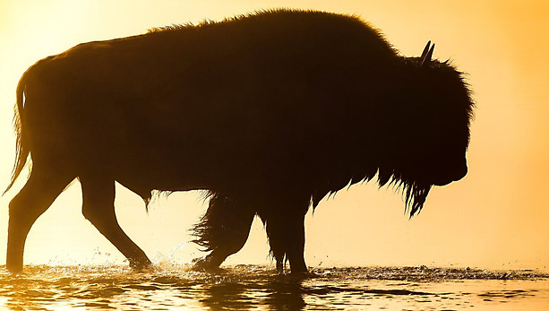 Bison crossing river in fog Yellowstone