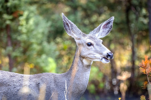 Mule Deer Yellowstone National Park