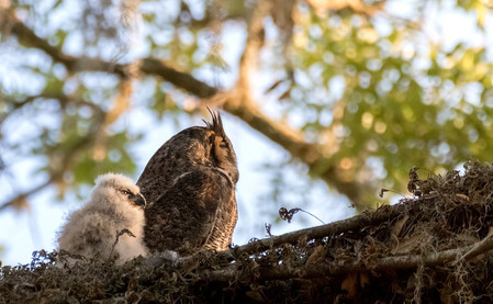 Great Horned Owl Photography Workshop