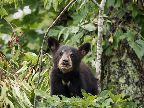 Black Bear Smoky Mountains