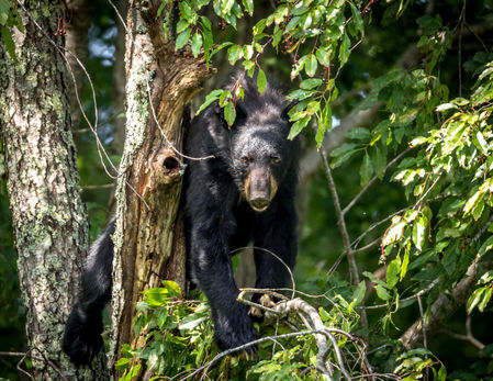 Smoky Mountains Wildlife Photography Workshop Black Bears