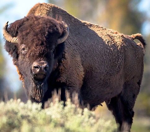 Bison Buffalo Yellowstone National Park