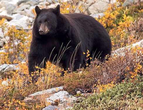 Black Bear Glacier National Park