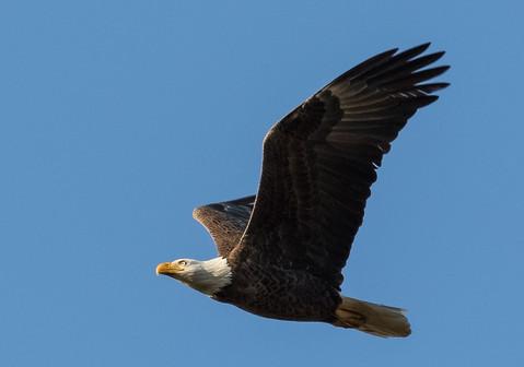 Eagle in flight Photography Workshop
