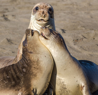 Elephant Seals playing on beach California