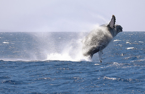 Travel-Photography-Maui-Hawaii-Humpback-