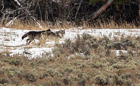 Wolf Yellowstone National Park Workshop