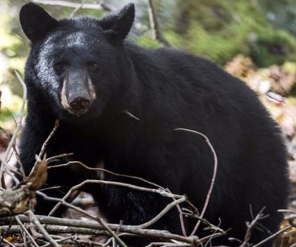 Black Bear Cub Smoky Mountains