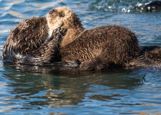 Sea Otters Morro Bay