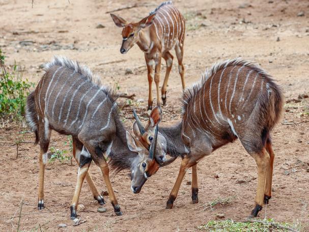 Nyala  South Africa Safari