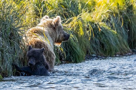 Alaska Brown Bear Photography Workshop
