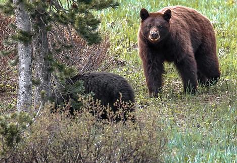 Cinamon Black Bear Grand Tetons Photography Workshop