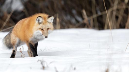 Fox Yellowstone National Park Workshop