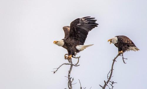 Eagles Grand Teton National Park