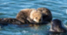 Sea Otters Photograpy Workshop