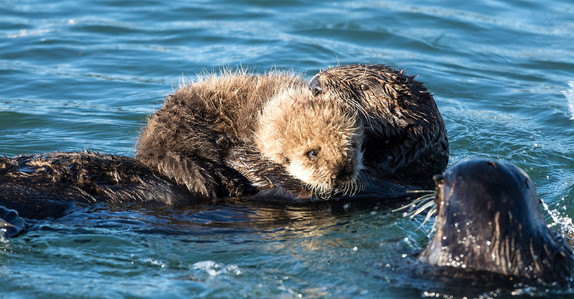 Sea Otter and Pup on Belly