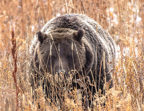 Grizzly Cub Grand Teton Nationa Park