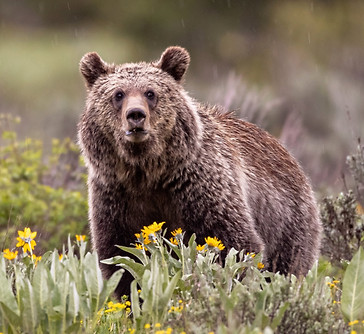 Grizzly Grand Tetons Photography Workshop