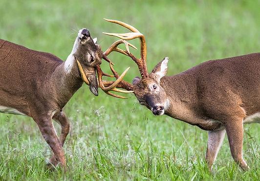 Fall Smoky Mountains Wildlife Photography Workshop Black Deer