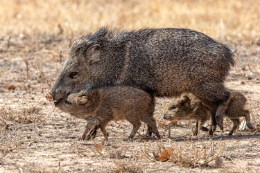 Javelina Bosque Del Apache Photography Workshop