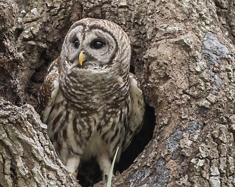 Barred Owl Florida