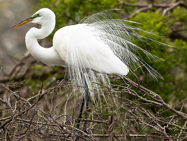 Glossy Ibis Great Egret Nest Wildlife Photography Workshop