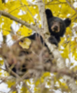 Fall Smoky Mountains Wildlife Photography Workshop Black Bears