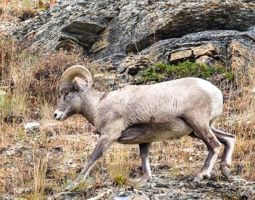 Big Horn Sheep Glacier National Park