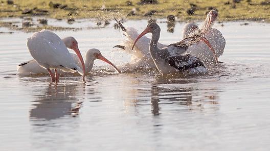 Ibis Bath Sanibel Island Florida