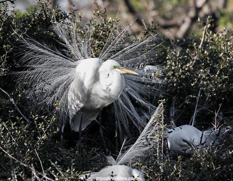 Great Egret wildlife photography workshop Savannah GA