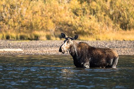 Moose in water, fishcap lake